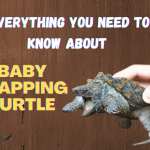 Everything you need to know about baby snapping turtle