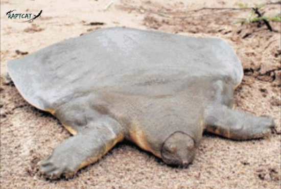 turtles without a shell