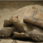 Everything You Need to Know About Sulcata Tortoise